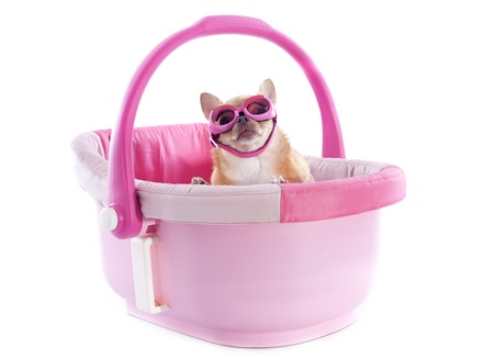portrait of a cute purebred  chihuahua with sunglasses in a pink cosy Stock Photo - 20584512
