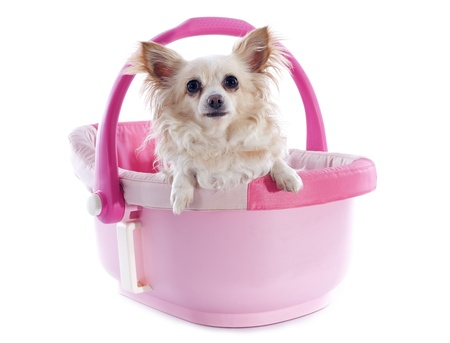 cosy: portrait of a cute purebred  chihuahua in a pink cosy