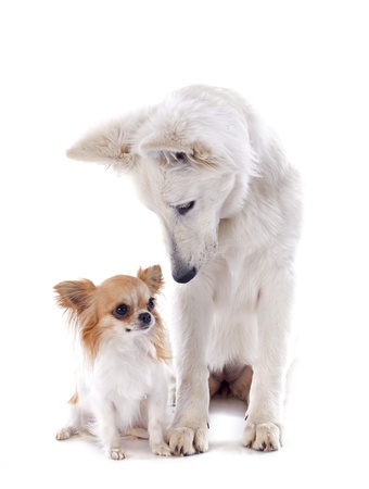 swiss culture: Purebred White Swiss Shepherd and chihuahua in front of white background