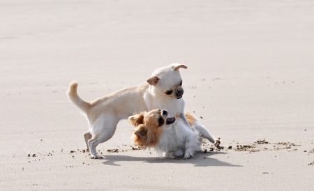 kampfhund: Porträt eines reinrassigen Chihuahua kämpfen am Strand