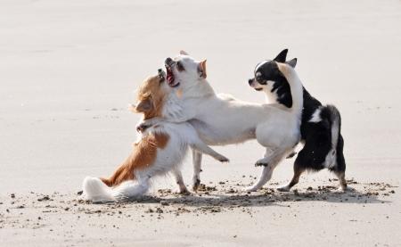 kampfhund: Portr?t eines reinrassigen Chihuahua k?mpfen am Strand Lizenzfreie Bilder