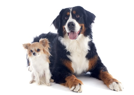 bernese dog: portrait of a purebred bernese mountain dog and chihuahua in front of white background