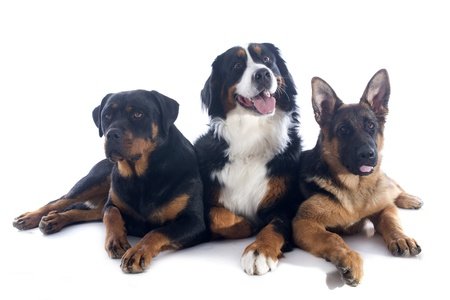 portrait of a purebred bernese mountain dog, rottweiler and german shepherd  in front of white background photo