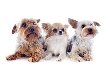 portrait of a purebred yorkshire terriers and chihuahua in front of white background photo