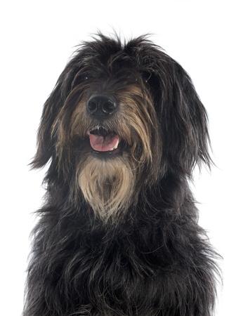 pyrenean: ritratto di un cane da pastore dei Pirenei di fronte a uno sfondo bianco