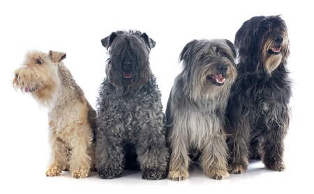 portrait of a pyrenean sheepdog, kerry blue terrier and lakeland terrier in front of a white background photo