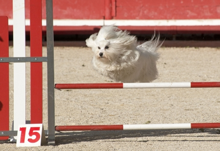 maltese dog: beautiful purebred maltese dog  jumping in a competition of agility