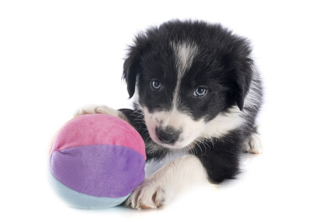 portrait of puppy border collie in front of white background Stock Photo - 20752125