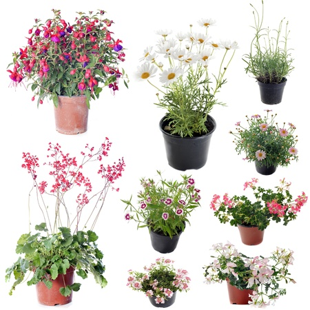 flower plants in pot in front of white background Stock Photo - 20752187