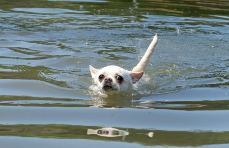 portrait of a cute purebred chihuahua in the river Stock Photo - 20752407