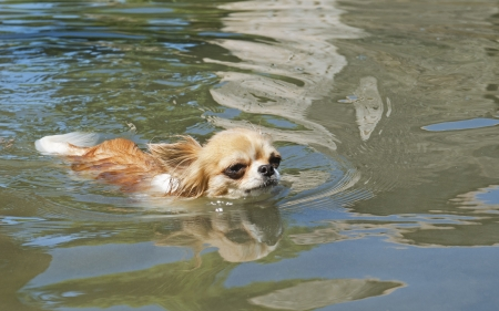 portrait of a cute purebred chihuahua in the river Stock Photo - 20752410
