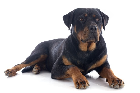 portrait of a purebred rottweiler in front of white background Stock Photo - 20752424