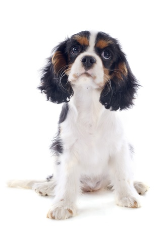 young tricolor cavalier king charles in front of white background Stock Photo - 20752425