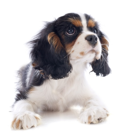young tricolor cavalier king charles in front of white background Stock Photo - 20752430