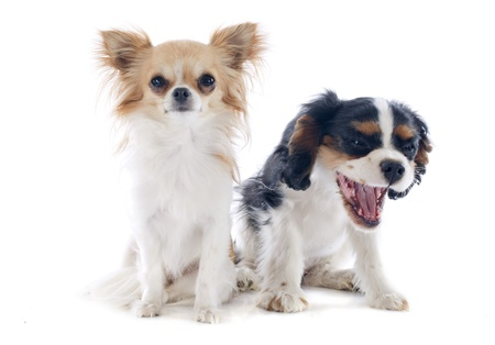 chihuahua and young cavalier king charles in front of white background photo