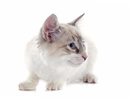 birman kitten: birman kitten in front of white background Stock Photo