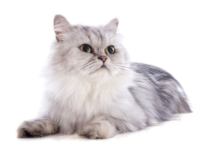 persian cat in front of a white background Stock Photo - 20752477