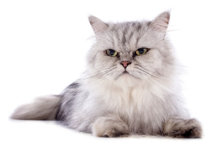 persian cat in front of a white background Stock Photo - 20752479