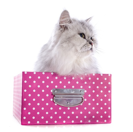 persian cat in box in front of a white background Stock Photo - 20752482