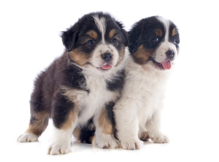 purebred puppies australian shepherd  in front of white background Stock Photo - 20752484