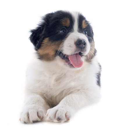 purebred puppy australian shepherd  in front of white background Stock Photo - 20752485