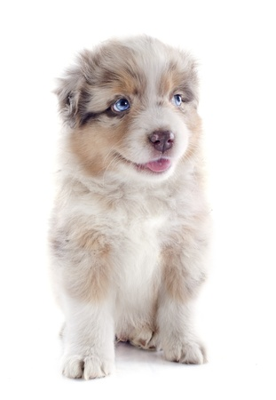 australian shepherd: purebred puppy australian shepherd  in front of white background