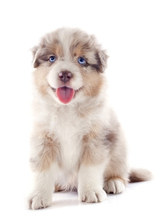 purebred puppy australian shepherd  in front of white background Stock Photo - 20752500