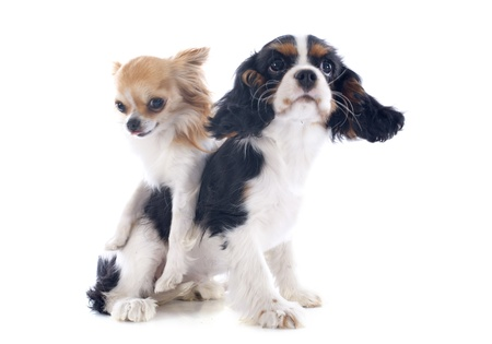young cavalier king charles with a chihuahua in front of white background Stock Photo - 20923304