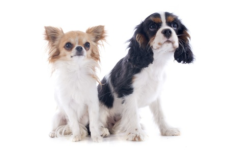young cavalier king charles with a chihuahua in front of white background Stock Photo - 20923305