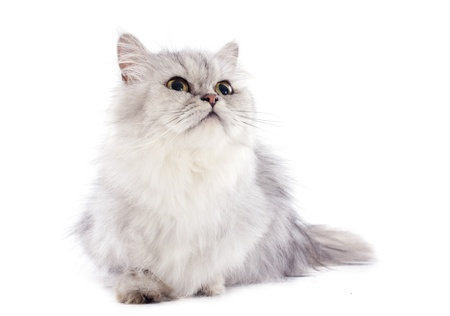 persian cat in front of a white background Stock Photo - 20923307