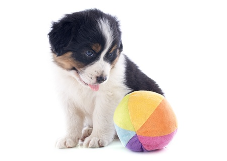 purebred puppy australian shepherd with a toy  in front of white background Stock Photo - 20923309