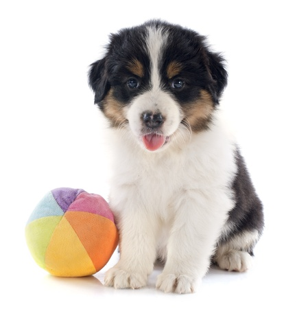 purebred puppy australian shepherd  in front of white background Stock Photo - 20923310