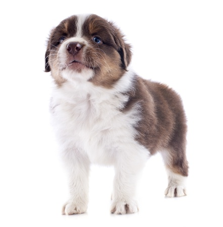 purebred puppy australian shepherd  in front of white background Stock Photo - 20923312