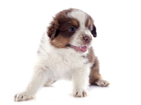 purebred puppy australian shepherd  in front of white background Stock Photo - 20923313
