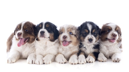purebred puppies australian shepherd  in front of white background Stock Photo - 20923315