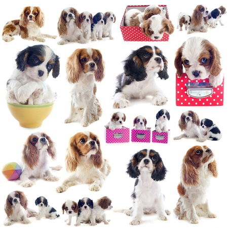 composite picture of cavalier king charles in front of white background Stock Photo - 20923316