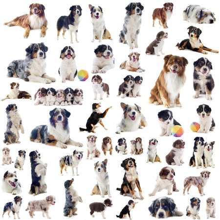 group of purebred australian shepherd  in front of white background photo
