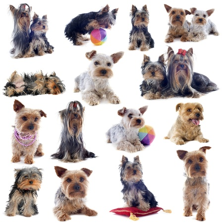 composite picture of purebred yorkshire terrier in front of white background Stock Photo - 20923328