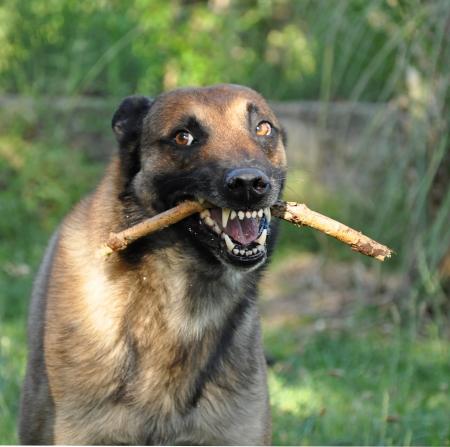 perro policia: foto de un pura raza pastor belga malinois enojados Foto de archivo