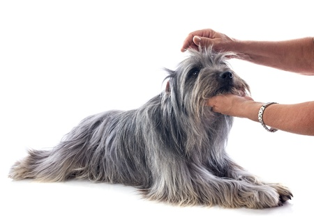 pyrenean: toelettatura di un cane da pastore dei Pirenei di fronte a uno sfondo bianco Archivio Fotografico