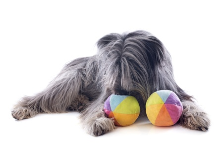 pyrenean: portrait of a pyrenean sheepdog and toys in front of a white background Stock Photo