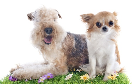 whie: lakeland terrier and chihuahua in front of whie background