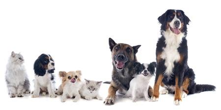 cane chihuahua: sette cani e gatti di fronte a sfondo bianco