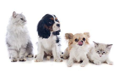 cavalier: four dogs and cat in front of white background Stock Photo