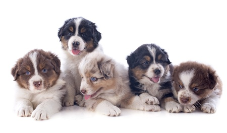 australian shepherd: puppies australian shepherd  in front of white background Stock Photo