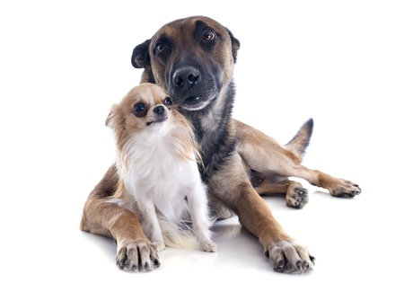 purebred belgian sheepdog malinois and chihuahua on a white background photo