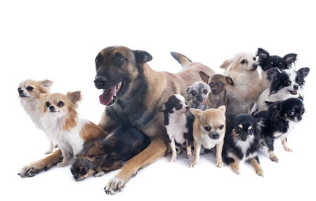 purebred belgian sheepdog malinois and chihuahuas on a white background photo