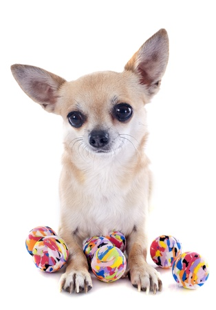 short hair dog: portrait of a cute purebred  puppy chihuahua and balls in front of white background Stock Photo