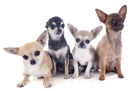 short hair dog: portrait of four chihuahuas in front of white background