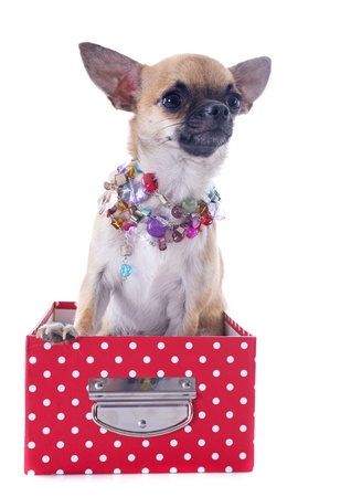 white collars: portrait of a cute purebred  puppy chihuahua in front of white background